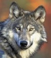 wolf head.